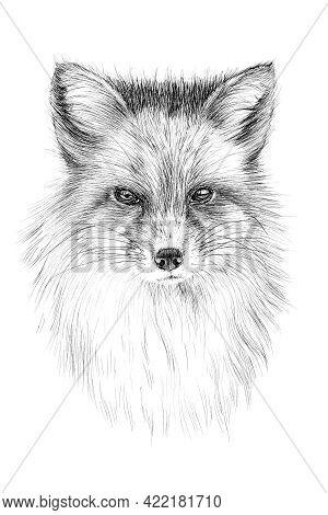 Hand Drawn Red Fox Portrait, Sketch Graphics Monochrome Illustration On White Background (originals,