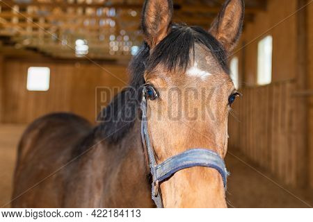 Portrait Of Beautiful Healthy Brown Chestnut Horse At Riding Place Indoors. Portrait Of A Purebred Y