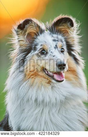 Shetland Sheepdog outdoors on grass. Pet friend