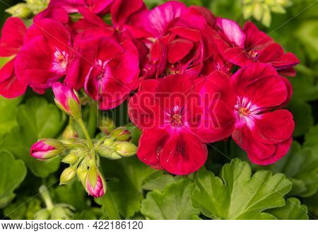 Pelargonium Flowers Commonly Known As Geraniums, Pelargoniums Or Storksbills And Fresh Green Leaves