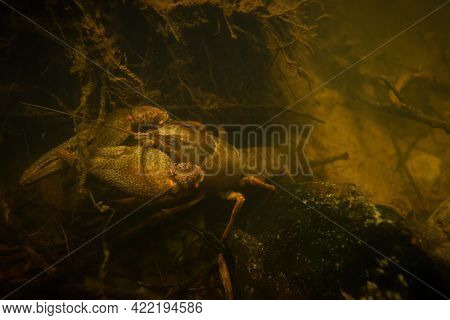 Endangered Broad-fingered Crayfish With Big Claws Underwater On Rock In Stream