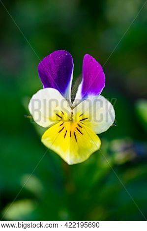 Closeup Of Wild Pansy In Yellow And Purple