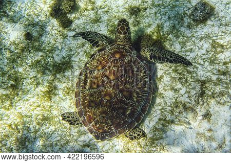 Saint Vincent And The Grenadines, Green Sea Turtle Swimming In The Caribbean Sea, Tobago Cays At Les