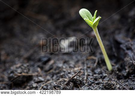 Cannabis Seeds On Soil Background, Close Up Of Planting Hemp Seeding Agriculture Herbal Medicine, Ma