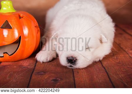 White Samoyed Dog With Halloween Pumpkin On Brown