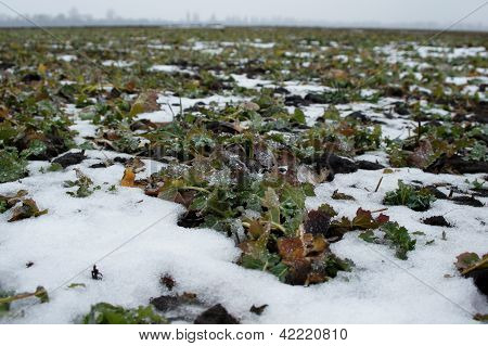 Winter-annual rape on the snow-bound field in spring