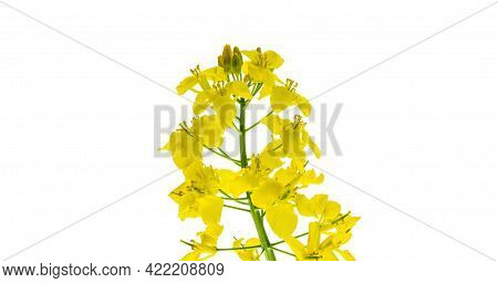 Canola Isolated. Rapeseed Plant, Colza Rapeseed For Green Energy. Yellow Rape Flower For Healthy Foo