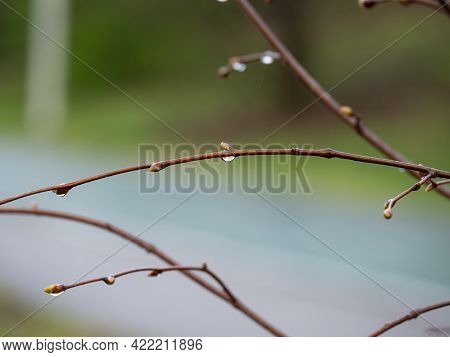 Thin Leafless Twigs Of A Tree With Raindrops.