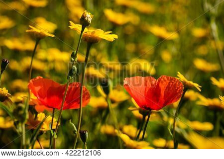 Two Poppies Growing Amongst A Meadow Of Wild Yellow Daisy Flowers In Corsica