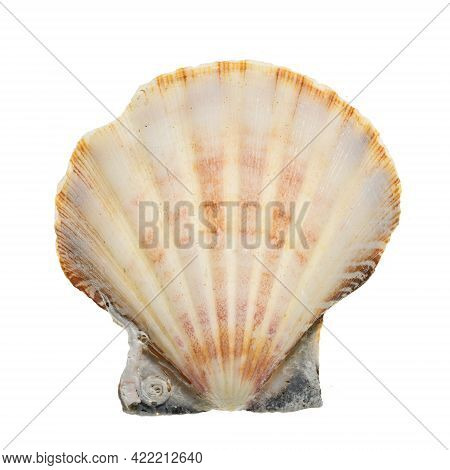 Close-up Of Isolated Seashell. High Details Studio Shot Image. Png File With Transparent Background.