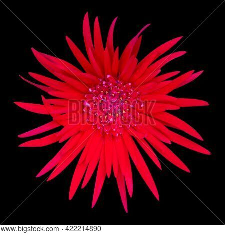 Beautiful Blooming Red Gerbera Daisy Flower On Black Background With Clipping Path.