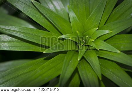 Green Leaves. Green Background, Lily Leaves, In The Flowerbed, Close-up. Easter Lilies Outside In A