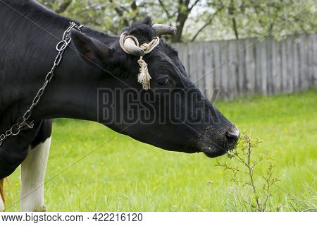 Cow. Dairy Cow In The Pasture. Black Young Cow, Stands On Green Grass. Spring Day. Milk Farm. Home A
