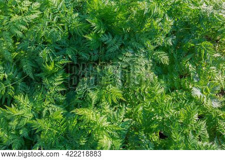 Fragment Of The Glade Covered With Wild Growing Dense Tall Grass With Branched Carved Leaves In Morn
