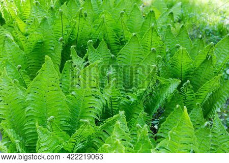 Thicket Of The Fern With Young Spring Leaves Close-up, Fragment In Selective Focus, Background