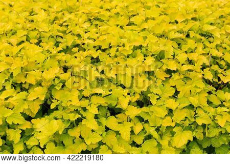 Ornamental Shrub In Hedge With Yellow-green Spring Leaves, Fragment Close-up In Selective Focus