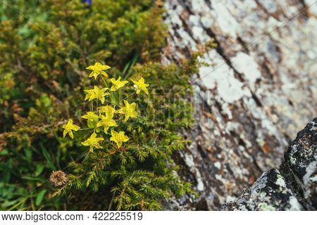 Sunny Green Nature Background With Small Yellow Flowers Among Conifer Thickets. Scenic Alpine Backdr