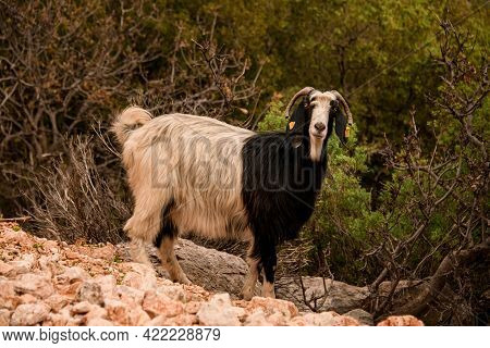 Black And White Hairy Goat With Nice Curled Horns