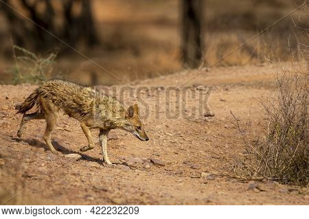 Indian Jackal Or Canis Aureus Indicus Subspecies Of Golden Jackal In Action At Ranthambore National