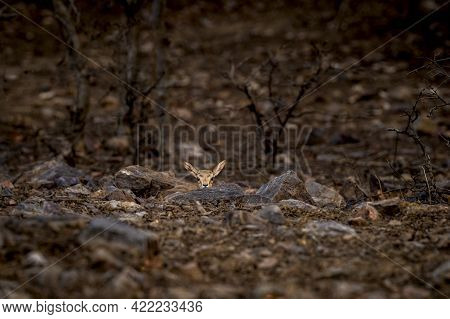 Chinkara Or Indian Gazelle Fawn Behavior In Fear Hiding Behind Rock And Pops Back At Ranthambore Nat
