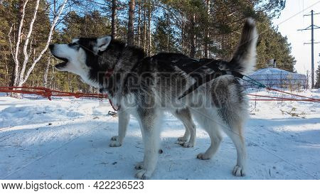 Siberian Huskies Are Harnessed, Standing On A Snowy Road. The Black And White Dog Opened Its Mouth,