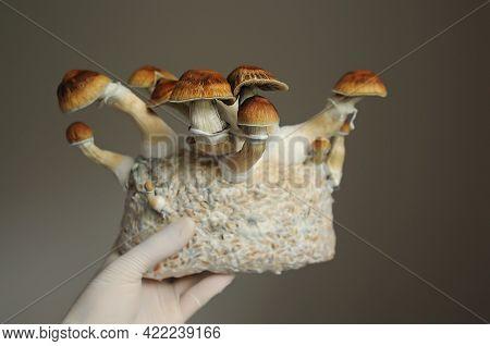 Mycelium Block Of Psilocybin Psychedelic Mushrooms Golden Teacher. Micro Growing Of Psilocybe Cubens