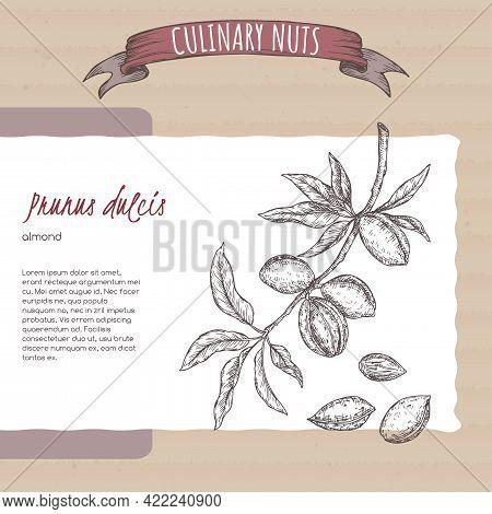 Prunus Dulcis Aka Almond Branch And Nuts Sketch On Cardboard Background. Culinary Nuts Series.
