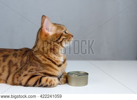Bengal Cat And Tin Can, Wet Cat Food In A Closed Tin Can