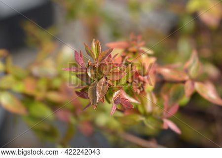Abelia Kaleidoscope Leaves - Latin Name - Abelia X Grandiflora Kaleidoscope