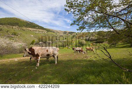 Grazing Cows On A Green Meadow Near Campo Imperatore In Abruzzo