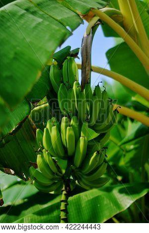 Beautiful Photo Of A Banana Tree With Unripe Bananas, Green Bananas