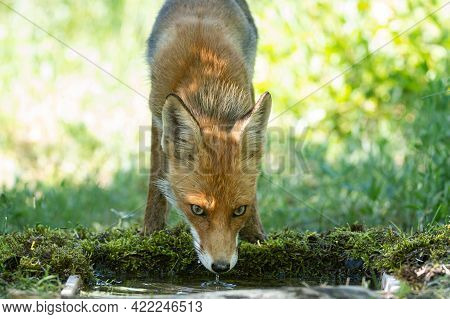 The Fox Drinks Water. Portrait Adult Of A Red Fox Vulpes Vulpes In The Wild.