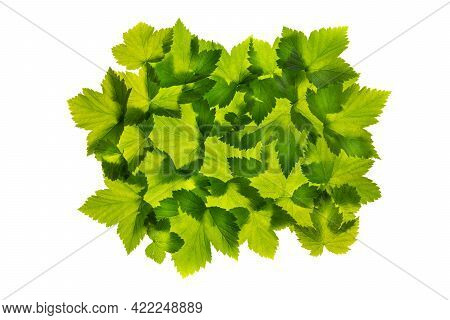 Group Of Translucent Green Currant Leaves Isolated On White Background.