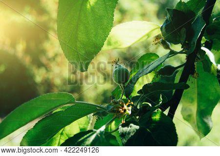 Close-up Of Fruit Ovary On Apple Tree
