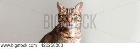 Head Of Pet Tabby Cat On Light White Background Looking At Camera. Fluffy Hairy Striped Domestic Ani