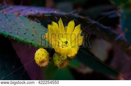 Cactus Flower. Blossoming Cactus. Cactus Buds. Yellow Cactus Flower.
