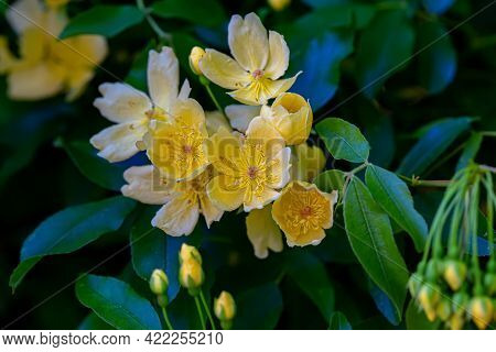 Yellow Flowers With Stamens And Buds On A Bush Branch And Natural Blurred Dark Background. Shallow D