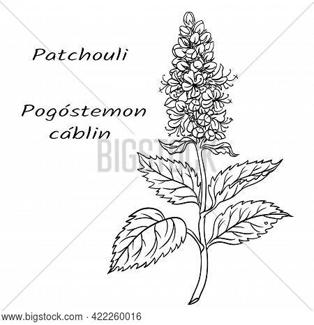 Aromatic Plant Patchouli (pogostemon Cablin), Black And White Vector Illustration.