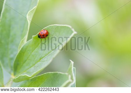 Macro Close Up Images Of A Ladybird, Coccinellidae Helping To Keep Aphids And Other Insects Under Co