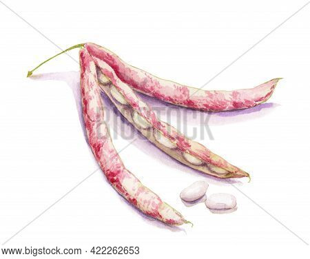 Watercolor Drawing Of Legumes - Beans In A Pod, Haricot