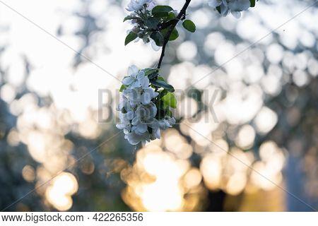 White Flowers, In Spring, Flowering Tree