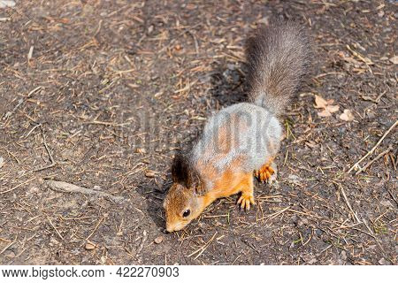 A Fluffy Squirrel Sniffs A Pine Nut Lying On The Ground. Spring Squirrel Molt, Change From Gray To R