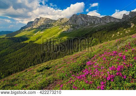 Flowery Mountain Slopes In Carpathians. Blooming Pink Rhododendron Flowers On The Hills, Bucegi Moun
