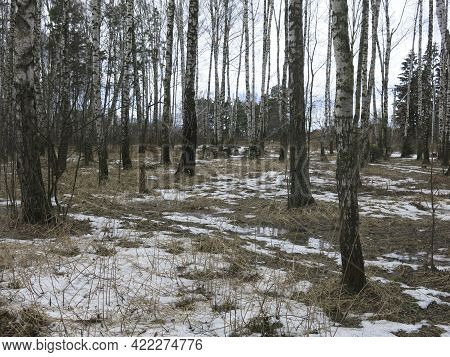 Birch Grove In Early Spring With Melting Snow And Black Trunks