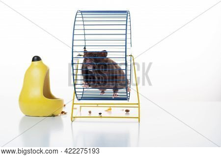 The Home Mouse Runs In The Wheel. A Fluffy Animal Runs In A Wheel. Puffy Hamster. Running Hamster.