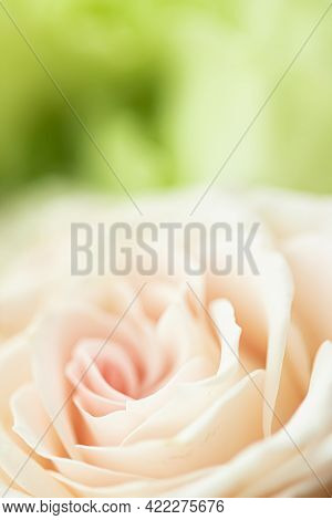 Rose Flower In A Garden, Floral Beauty And Botanical Background For Wedding Invitation And Greeting