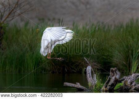 Great Egret Flying Ardea Alba In Flight