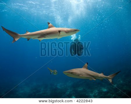 Blacktip Reef Shark (Carcharhinus melanopterus) swimming over tropical coral reef diver in background. poster