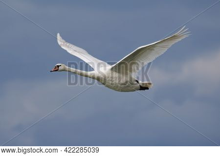 White Swan Bird On The Lake. Swans In The Water. Water Life And Wildlife. Nature Photography. Birds