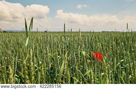 Wheat Field, Close-up, Selective Focus, Poppy Blossoms In A Green Wheat Field.bright Sunny Day, Summ